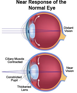 Near Response of the Healthy Eye